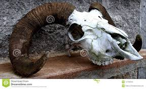 sheep skull stock photo image of teeth nature midwest 14704534