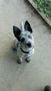blue heeler x australian shepherd blue heeler pitbull mix pictures dogs pinterest pitbull dog