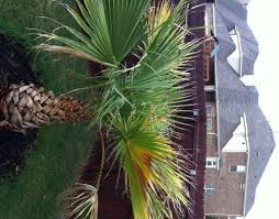 mexican fan palm growth rate mexican fan palm tree fronds turning yellow brown