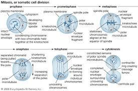 meiosis cytology britannica com