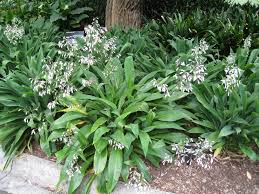 native plants new zealand new zealand rock lily 6