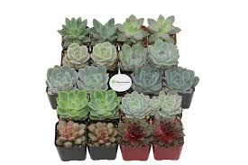 amazon com shop succulents rosette succulent collection of 20