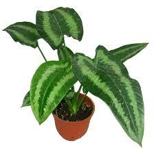 malaysia indoor plants wellgrow horti trading