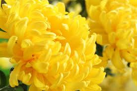 flowers in november birth month flower of november the chrysanthemum