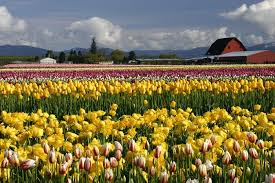 skagit valley tulip festival bloom map skagit valley tulip festival pictures 2014 info bloom map arts