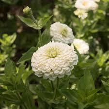 zinnias flowers benary s white zinnia seed johnny s selected seeds