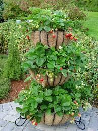 Strawberry Garden Beds Strawberry Barrel Garden Album On Imgur
