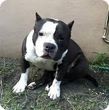 american pitbull terrier mix miami fl english bulldog american pit bull terrier mix meet