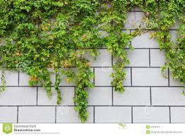 green ivy plant and brick wall royalty free stock photo image