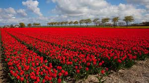 netherlands red tulips fields flowers many
