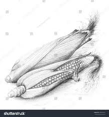 two corn cobs one half husked stock illustration 200929124