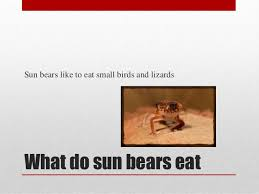 all about sun bears