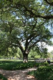 live oak tree in a small grove of trees such as live