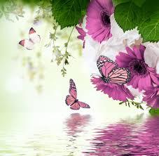 spring blossom purple gerbera flowers butterflies refection water