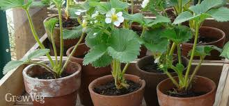 Flower Boxes That Thrive In by How To Grow Strawberries Successfully In Containers