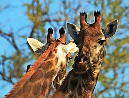 photo of the week why do giraffes have horns