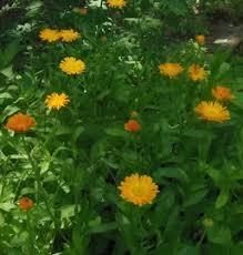 calendula flowers calendula flower benefits