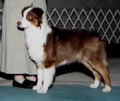 australian shepherd hair red merle australian shepherd i have one and she looks a lot like