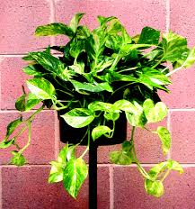 Low Light Flowering Plants by Interior Landscaping Plant Rental Foliage Plants Chicago