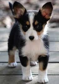 australian shepherd hair australian shepherd dog breed a great herding dog ultimate guide