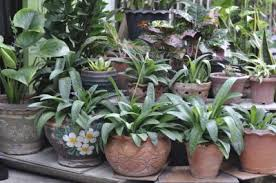 plants indoors when to bring in potted plants tips on bringing container plants