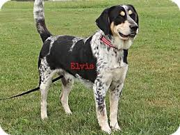 bluetick coonhound with cats elvis adopted dog geneseo il bluetick coonhound labrador