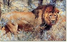 lion pics 40 animal animal
