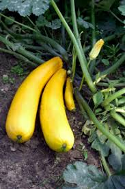 growing zucchini and summer squash in minnesota home gardens