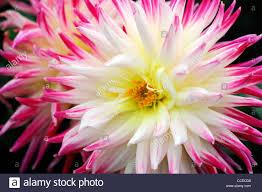 dahlia cha cha purple pink white yellow bicolor flower bloom