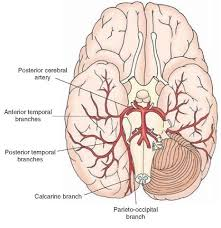 Thalamus Part Of The Brain Blood Supply Of The Central Nervous System Gross Anatomy Of The