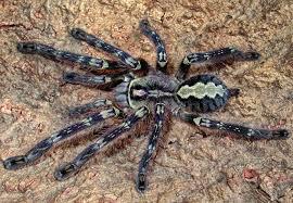 rozzer s tarantulas awesome website for buying tarantulas in