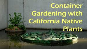 southern california native plants landscaping container gardening with california native plants flickr