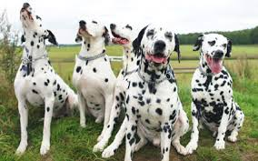 orders large consignment dalmatians