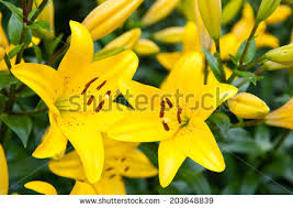 Yellow Lilies Yellow Lily Stock Photos Royalty Free Images U0026 Vectors Shutterstock