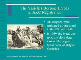 belgian shepherd dog club of canada the belgian sheepdog presented by belgian sheepdog club of