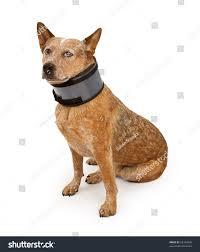 australian shepherd queensland queensland heeler dog also known australian stock photo 63194398