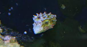 turban snail reef aquarium