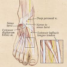Nerves In The Knee Anatomy Compression Of The Peroneal Nerves Parker Foot And Ankle