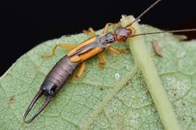 earwig control how to identify prevent and get rid of earwigs
