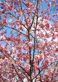 flowering trees for small gardens frivforkid club