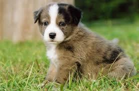 american eskimo dog rescue wichita ks browse by tag puppy page 1