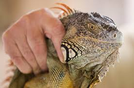 Seeking Lizard Review In South Florida Green Iguanas Spread Into Suburban Scourge The