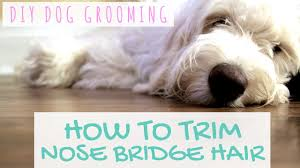 how to cut a goldendoodles hair diy dog grooming how to trim nose bridge hair youtube