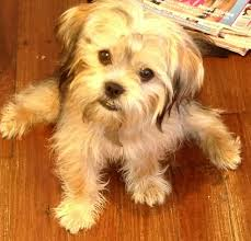 shorkie hair styles does oscar realize how cute he is shorkie haircuts for