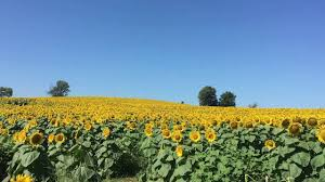 Grinter Farms Grinter Sunflower Fields Youtube