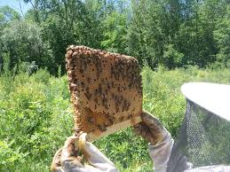 file top bar brood comb from a warre hive jpg wikimedia commons