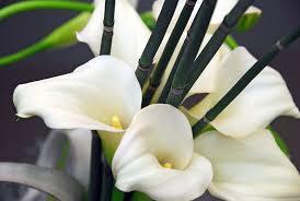 Calla Lillies Zantedeschia U0027crystal Blush U0027 Calla Lily