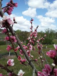 mail order fruit trees of antiquity mail order heirloom fruit tree company
