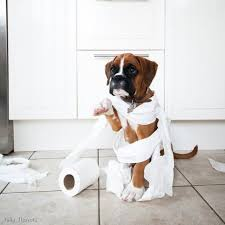 wrapped toilet paper what toilet paper boxer dog wrapped up in tp dsc5387 490x490 jpg