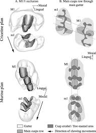 topographic maps applied to comparative molar morphology the case